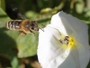 pszczola3